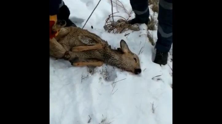 В Белорецке спасатели задержали дикую косулю