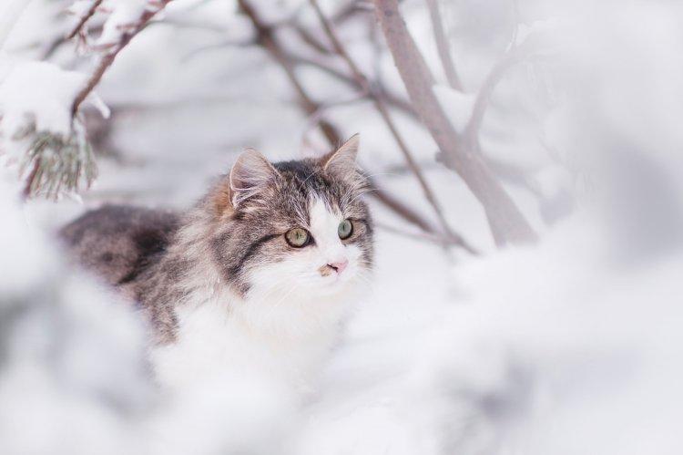 За кошками каких пород легче всего ухаживать