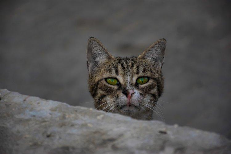 Ученые выяснили, почему у большинства кошек скверный характер