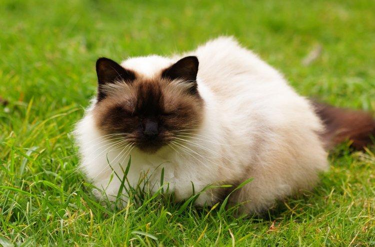 6 пород кошек, не обладающие высоким интеллектом