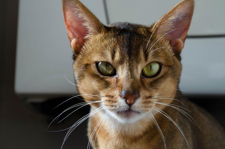 ТОП-5 пород кошек, которых стоит опасаться