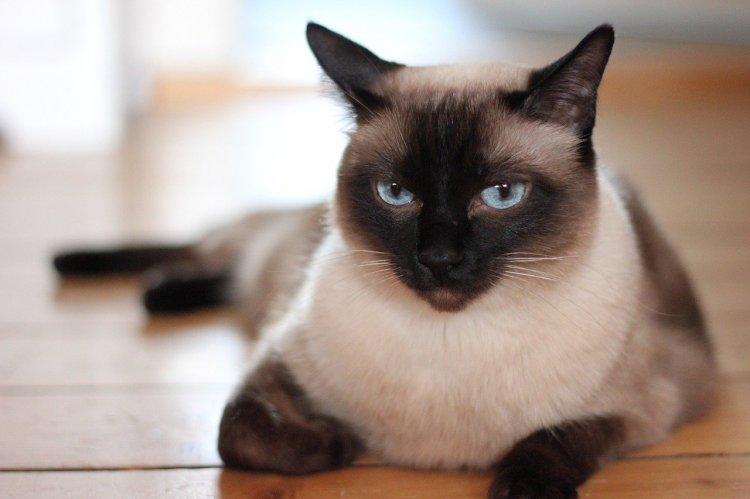 5 пород кошек, которые могут похвастаться отменным здоровьем