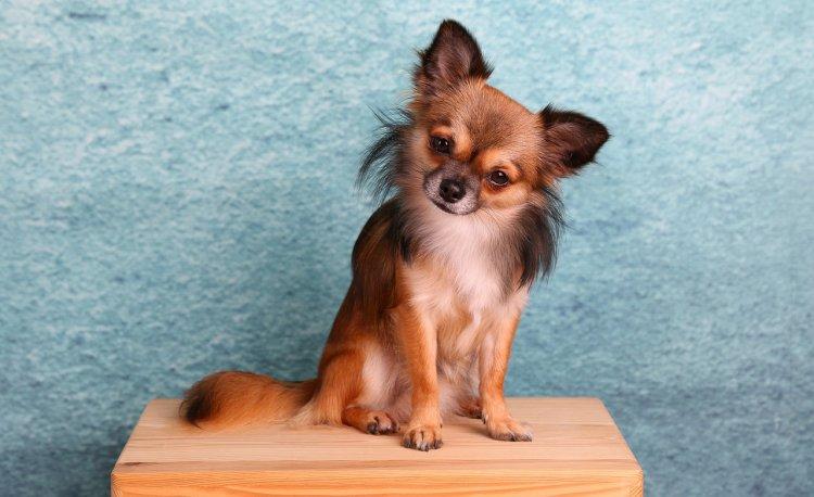 Топ-5 миниатюрных пород собак, которые подойдут для квартиры