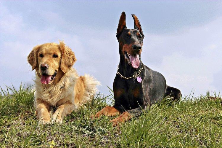 Собаки, которых очень опасно держать неопытным собаководам