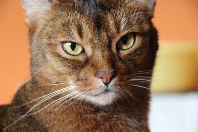 Они не ми-ми-мишки: ТОП-10 самых злых пород кошек