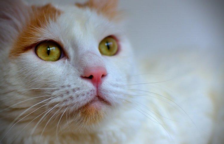 Топ-10 умных пород кошек