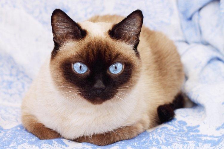 Чудо-кошки: 5 пород, которые приносят людям счастье и удачу