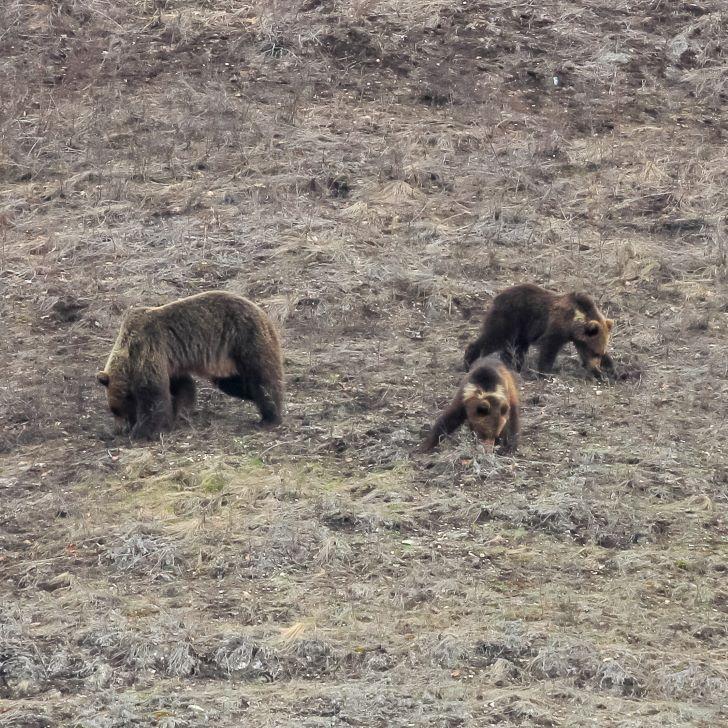 В нацпарке «Башкирия» медведица вывела детенышей на прогулку