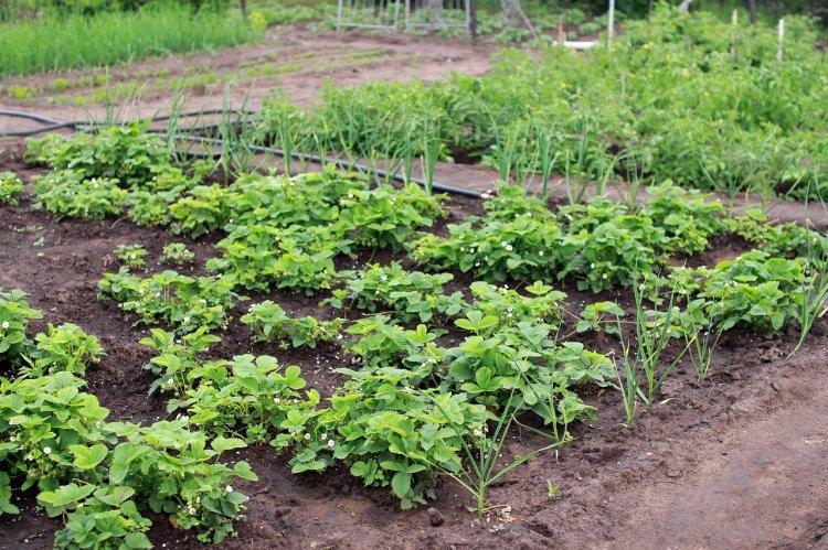 Какие растения нельзя окучивать – урожая не будет