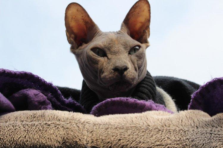Топ-5 пород кошек, которых можно держать дома