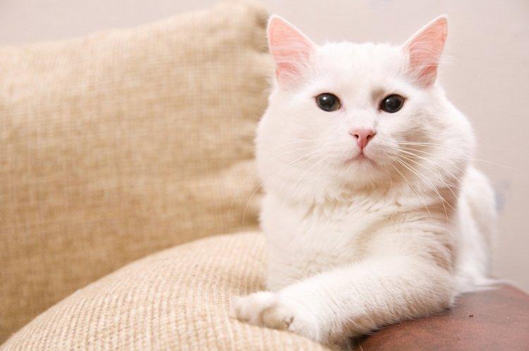 Белая кошка и её «недостатки»