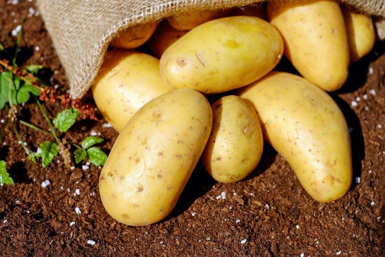 Как сажать картошку, чтобы урожай созрел быстрее, чем у соседей