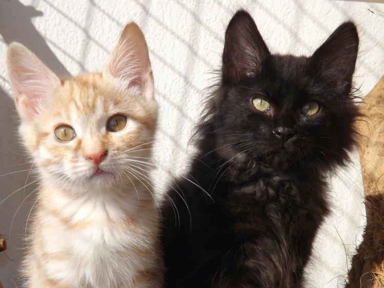 ТОП-5 породы кошек, которые дружат с собаками
