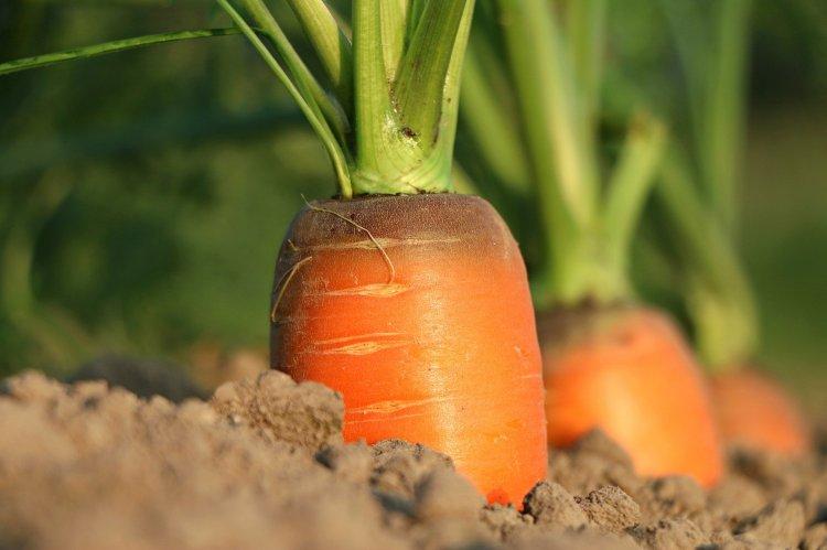 Чем заправить грядку под морковь, чтобы урожай получить в 2 раза больше