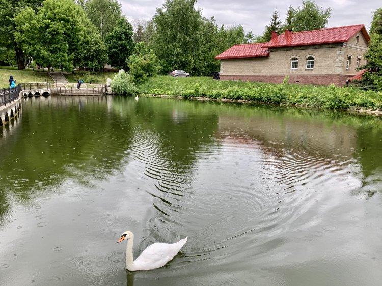 В уфимском саду Аксакова лебединая пара вновь радует горожан