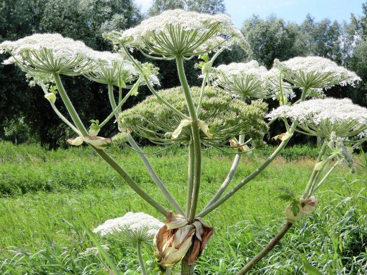 В парке Лесоводов Уфы обнаружили опасное растение