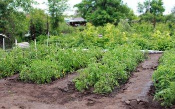 Лайфхак для садоводов: Разбавьте эту недорогую таблетку в воде и собирайте урожай ведрами