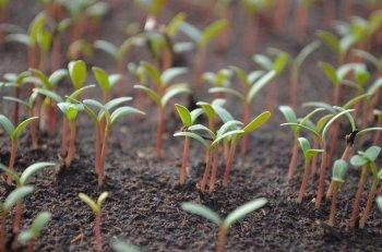 Опытные садоводы рассказали, чем ни в коем случае нельзя поливать рассаду