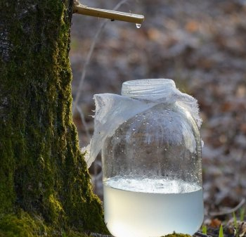 Диетолог рассказала об опасности потребления березового сока