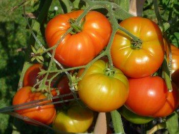 Крупными и вкусными помидорами будут «усыпаны» все кусты, если таким способом полить грядки