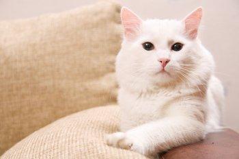 Черная кошка - к беде! А белая к чему тогда? Восемь суеверий, связанных с белыми кошками