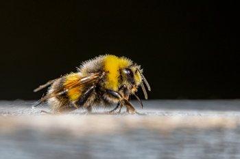 В Нидерландах медоносных пчел научили распознавать коронавирус по запаху