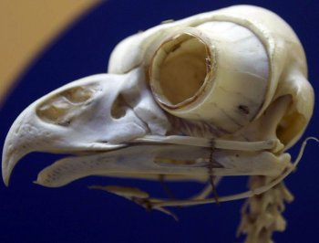 Крошечный динозавр, похожий на сову, охотился в темноте как современные птицы