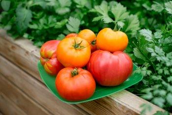 Будете собрать с огорода крупные, мясистые и сладкие помидоры, если начнете применять этот секрет