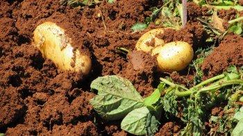 Будет богатый урожай картофеля, если положите в каждую лунку этот секретный ингредиент