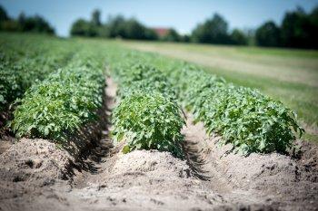 Можно еще успеть до конца мая: 4 хитрости дадут хороший урожай картошки