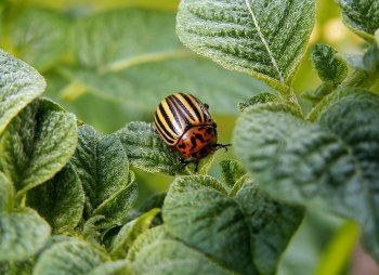 Как спасти картошку от колорадского жука: самые действенные способы для садоводов