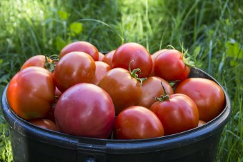Всего щепотка этого удобрения и урожаю томатов не будет предела