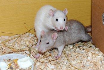 В Китае самцы крыс выносили 10 жизнеспособных детенышей