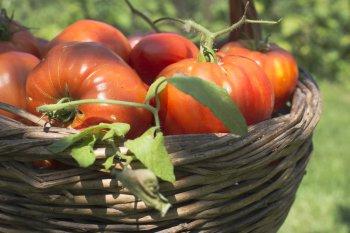 По три корзины с куста! Две бюджетные подкормки и рекордный урожай томатов будет сладким и крупным