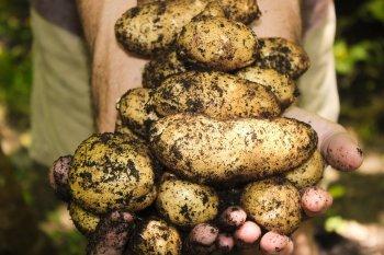 Больше ведра с одного куста: Четыре простые хитрости для большого урожая картофеля