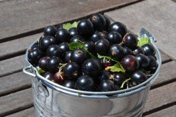 Ягодное лакомство на зиму: вкусные и простые рецепты ароматного варенья из черной смородины