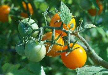 Вы быстро лишитесь урожая томатов, если допустите одну простую ошибку