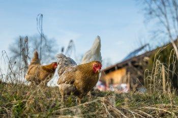 В России запретили разводить кур и других сельскохозяйственных животных на садовых участках