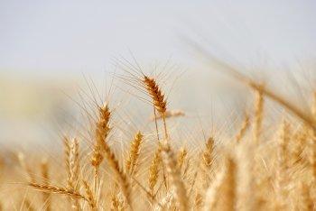 Глава Минсельхоза РБ Фазрахманов: В Башкирии в 2021 году соберут в 2 раза меньше зерна, чем годом ранее